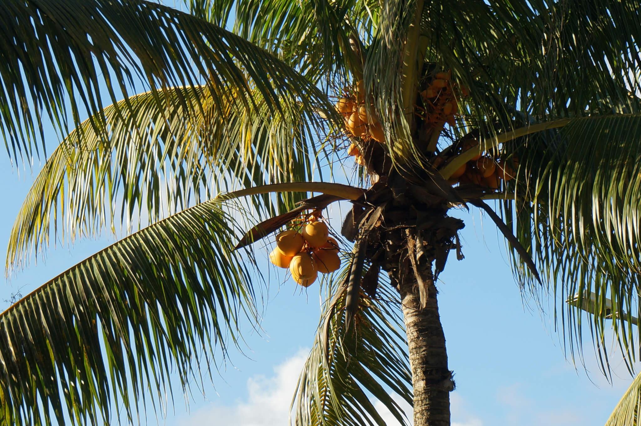 Schon immer scheint es Kokosnüsse auf den Seychellen gegeben zu haben.  Schon immer? Fest steht, dass die frühen, schriftlich überlieferten  Zeugnisse von ...
